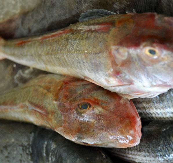 Gurnard Fresh Fish