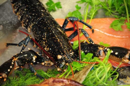 Lobster fresh berkshire